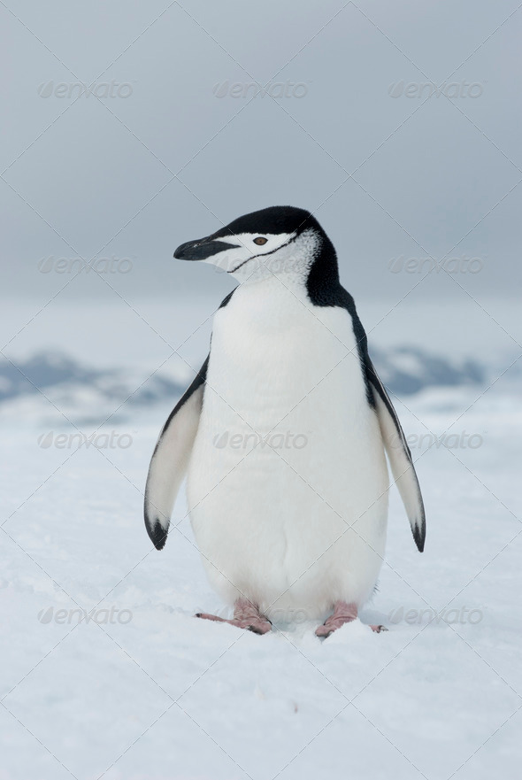 PhotoDune Antarctic penguin winter overcast day 3944167