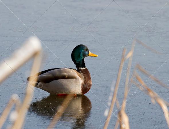 PhotoDune A male mallard duck sitting on the ice 3944168