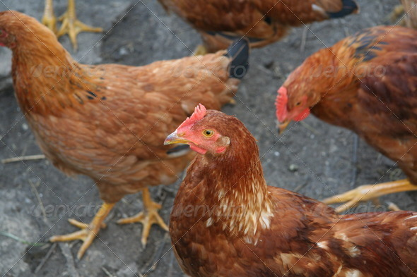 PhotoDune Brown hens with focus on middle hen 3963986