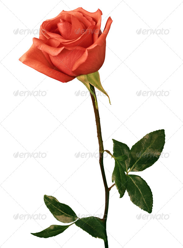 PhotoDune beautiful red rose on a white background 3963993