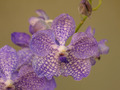 Blue Orchid - PhotoDune Item for Sale