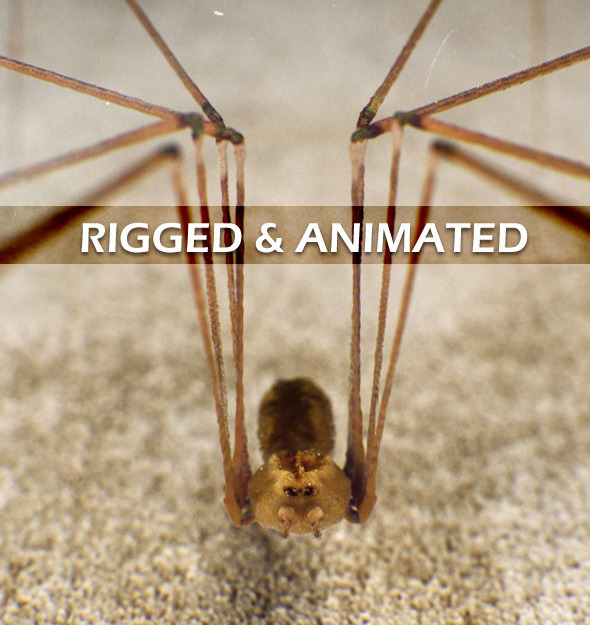 3DOcean Spider Pholcus Phalangioides rigged 3958967