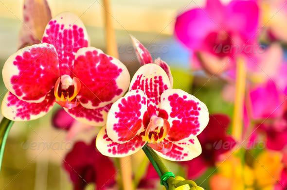 PhotoDune Multicolored Phalaenopsis 3969909