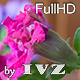Petunia Timelapse - VideoHive Item for Sale