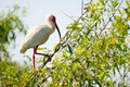 Ibis Bird in a Tree - PhotoDune Item for Sale