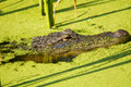 Alligator Lurking in an Algae Filled Lake Profile - PhotoDune Item for Sale