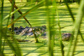 Alligator Lurking Behind Reeds - PhotoDune Item for Sale
