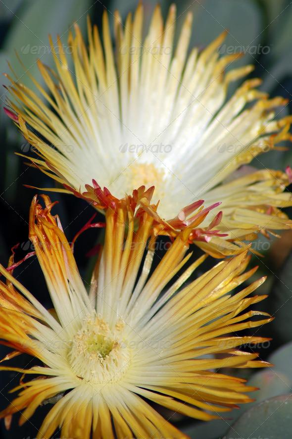 PhotoDune yellow succulent flower 3987234