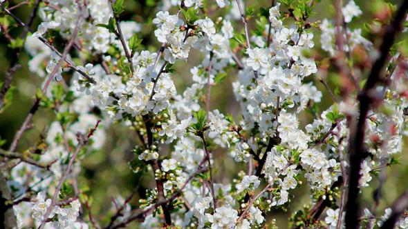 Flowering Tree 7