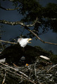 Nesting Eagles - PhotoDune Item for Sale