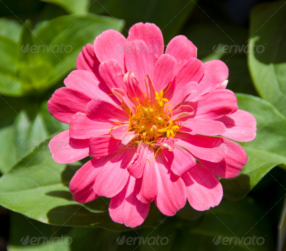 PhotoDune Pink yellow zinnia flower 3987530