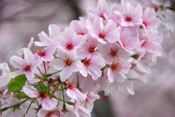 PhotoDune Cherry Blossom Flower 3987531