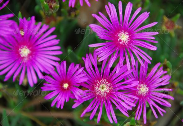 PhotoDune pink succulent flower 3987406