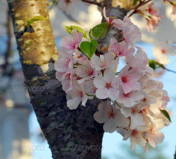 PhotoDune Cherry Blossom Flower 3987420