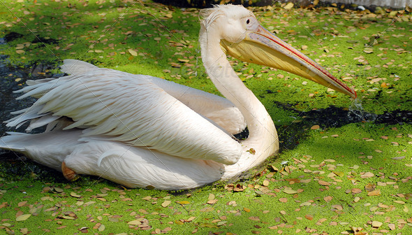 PhotoDune white migratory pelican bird 3987298