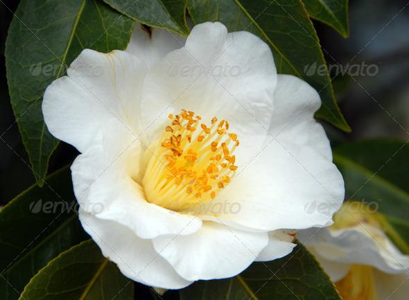 PhotoDune white camellia flower 3987273