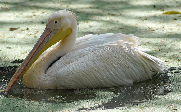 PhotoDune white migratory pelican bird 3987282
