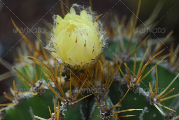 PhotoDune yellow flower on green cactus plant 3987294