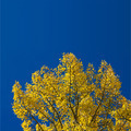 Yellow Fall Aspen Leaves - PhotoDune Item for Sale