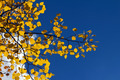 Yellow Aspen Leaves Against Blue Sky - PhotoDune Item for Sale