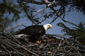 Eagle Standing On Nest - PhotoDune Item for Sale