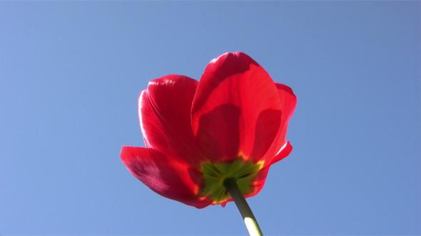 Red Tulip In Spring Sunny Day