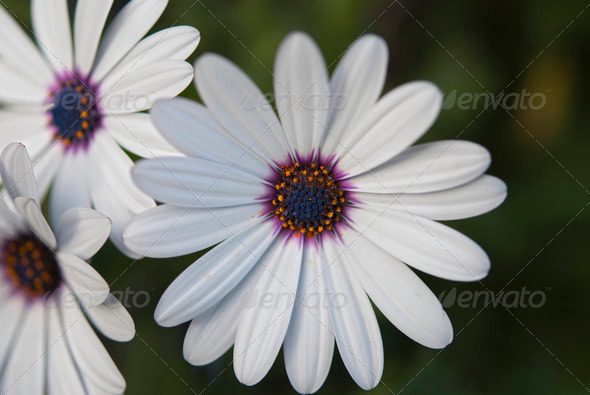 African Daisy Flowers - Stock Photo - Images
