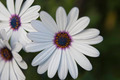 African Daisy Flowers - PhotoDune Item for Sale