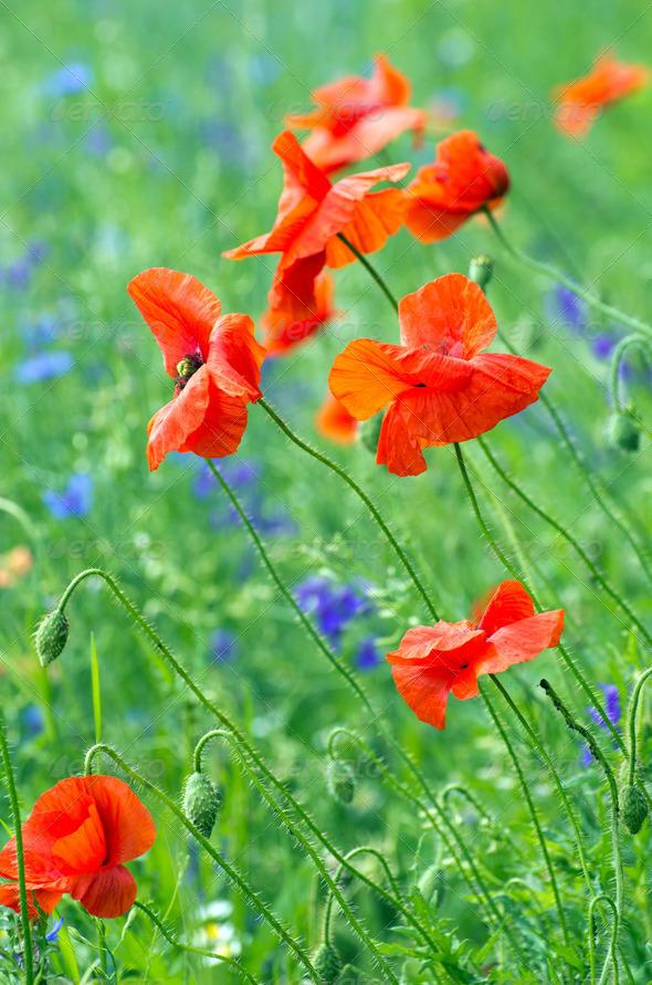 PhotoDune red poppy 3984305
