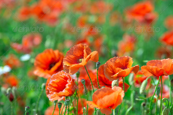 PhotoDune red poppy 3984310