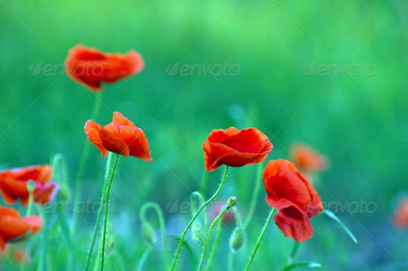 PhotoDune red poppy 3984312