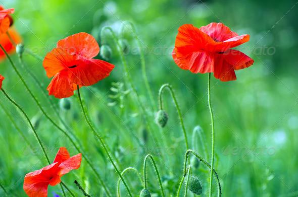 PhotoDune red poppy 3984328