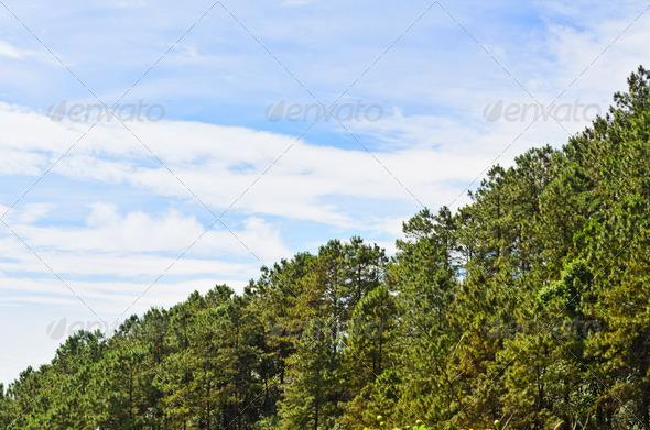 PhotoDune Kesiya pine Khasiya pine 3985688