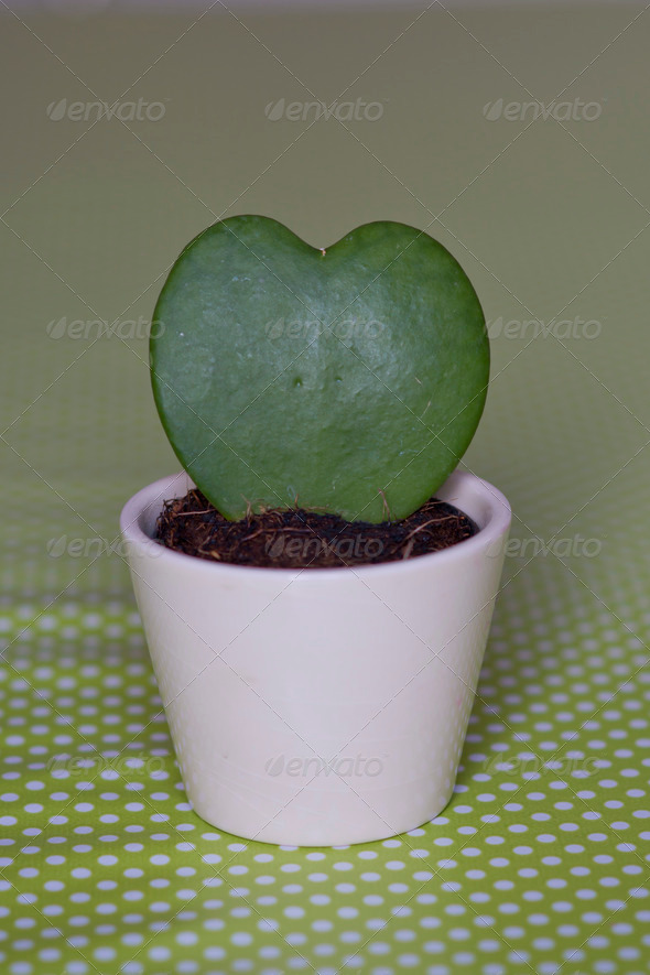 PhotoDune Heartshaped Succulent in a white Pot 3986445