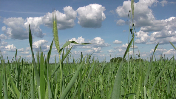 VideoHive Field Of Early Green Wheat 3988733
