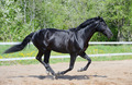 Black Stallion of Russian riding breed in motion - PhotoDune Item for Sale