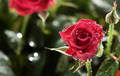 red rose with dew - PhotoDune Item for Sale