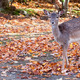 Fallow Deer Looking at the Camera - PhotoDune Item for Sale