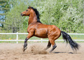 Rearing bay Stallion of Ukrainian riding breed - PhotoDune Item for Sale