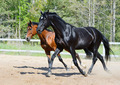 Black Stallion and bay Stallion in motion - PhotoDune Item for Sale