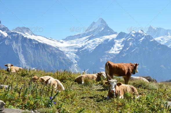 PhotoDune Cows on the Alpine meadow Jungfrau region Switzerland 4021134