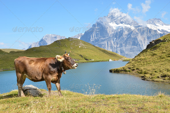 PhotoDune Cows in an Alpine meadow Jungfrau region Switzerland 4021140