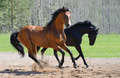 Two Stallions Gallop on manege - PhotoDune Item for Sale