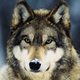 Grey-wolf-snow.small