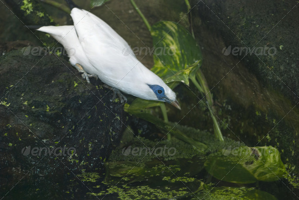 Bali Myna - Stock Photo - Images