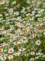 field of daisy flowers - PhotoDune Item for Sale