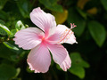Vivid pink hibicus is blooming - PhotoDune Item for Sale