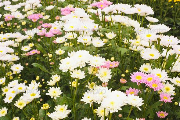 Chrysanthemum flowers - Stock Photo - Images