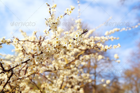 PhotoDune blossoming cherry tree 4102043