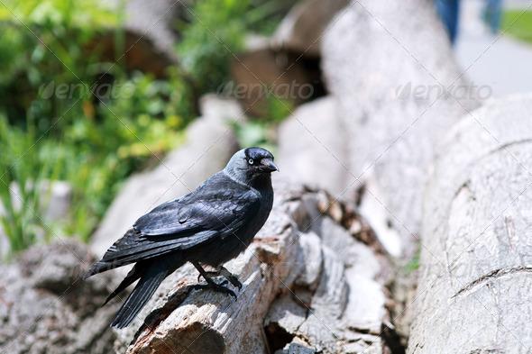 PhotoDune western jackdaw 4102052